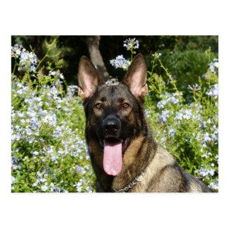 Beautiful German Shepherd dog Postcard