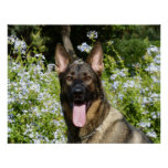 Beautiful German Shepherd dog Poster