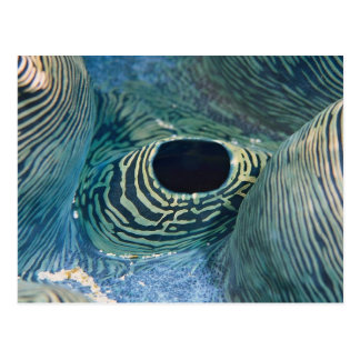 Beautiful Giant clam siphon Postcard