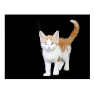 beautiful ginger and white kitten postcard