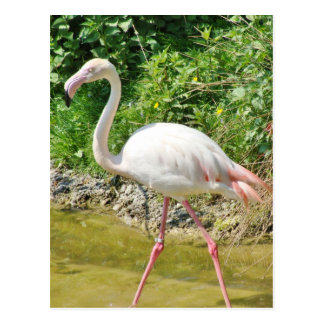 Beautiful Greater Flamingo - Postcard