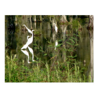 Beautiful Group Of Louisiana Herons Finding Food I Post Cards