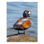 Beautiful Harlequin Duck on the Rock Card