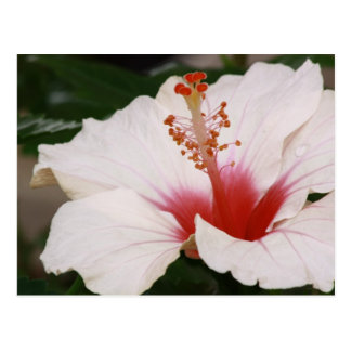 Beautiful hibiscus - chinese rose postcard