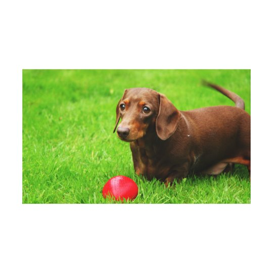 Beautiful high definition photo of dachshund Pluto Canvas Print