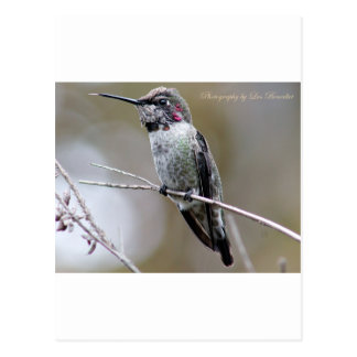 Beautiful Hummingbird Posing for photos Postcard