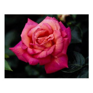 Beautiful Hybrid Tea Rose 'Fragrant Cloud' Postcard