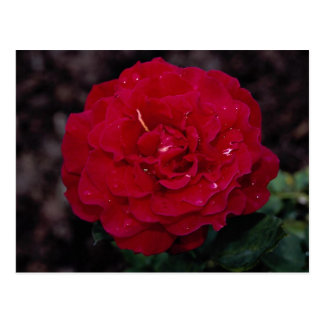 Beautiful Hybrid Tea Rose 'Mister Lincoln' Postcard
