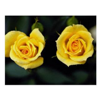 Beautiful Hybrid Tea Rose 'Oregold' Postcard