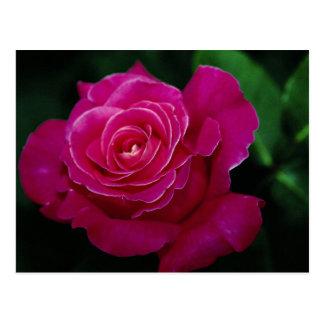 Beautiful Hybrid Tea Rose 'Pink Peace' Postcard