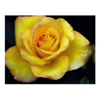 Beautiful Hybrid Tea Rose Postcard
