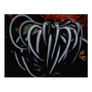 Beautiful Indo-Pacific feather star Postcard