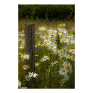 Beautiful Large Daisies Poster/Print Poster
