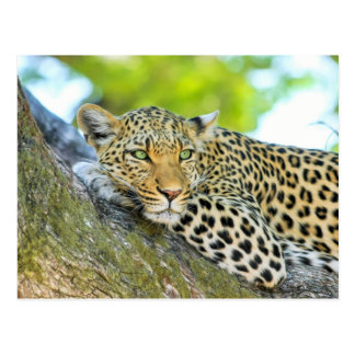 Beautiful leopard with green eyes postcard