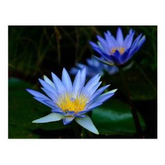 Beautiful lotus flowers and meaning postcard