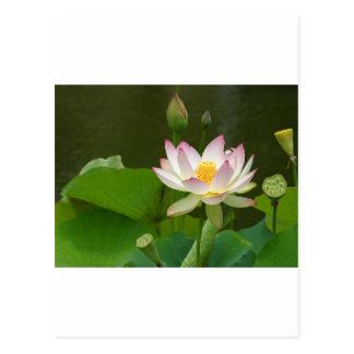 Beautiful Lotus Postcard