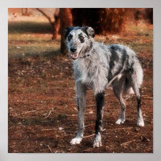 Beautiful Lurcher dog Poster