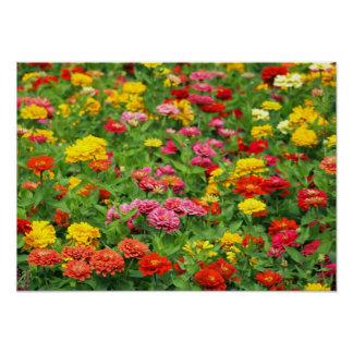 Beautiful Marigold Flower Bed Poster