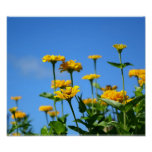 Beautiful Marigold Flowers and Blue Summer Sky Poster