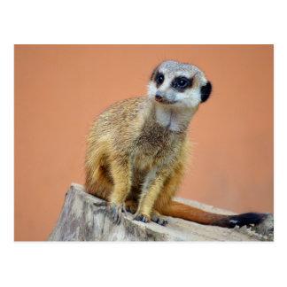 Beautiful meerkat postcard