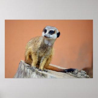 Beautiful meerkat poster