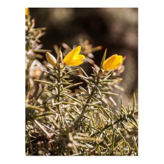 beautiful moorland gorse flower postcard