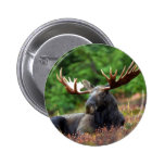 Beautiful moose with big antlers pinback button