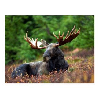 Beautiful moose with big antlers postcard