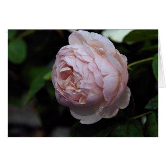 Beautiful Moss Rose 'Alfred de Dalmas' Greeting Card