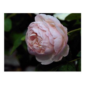 Beautiful Moss Rose 'Alfred de Dalmas' Postcard