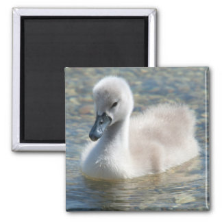 Beautiful Mute Swan Duckling Magnet