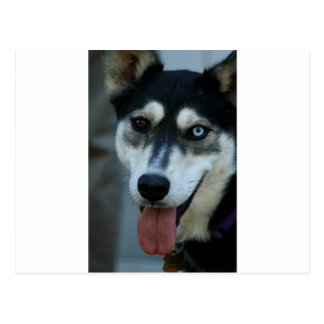 Beautiful One Blue Eye Siberian Husky Postcard