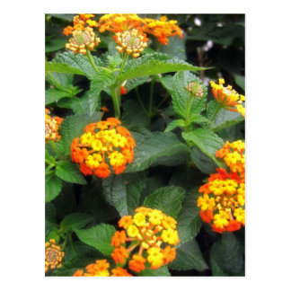 Beautiful Orange and Yellow Lantana 1 Postcard