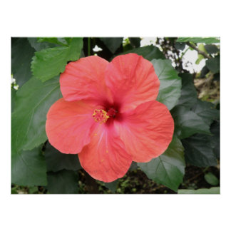 Beautiful Orange Hibiscus Flower Poster