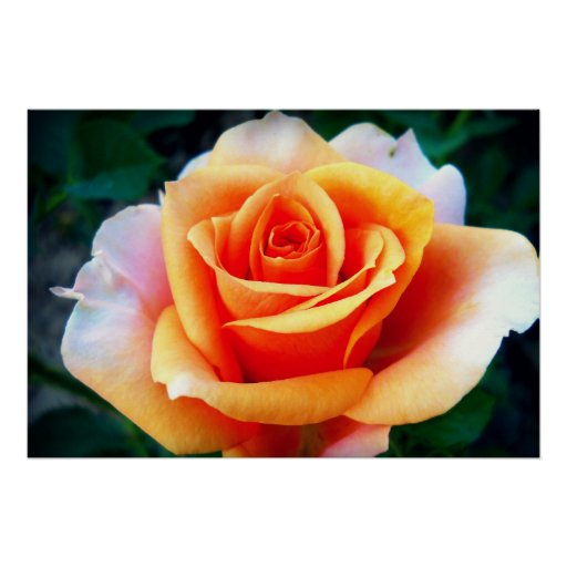 Beautiful Orange Rose Poster