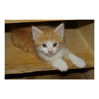 Beautiful Orange Tabby Kitten Poster