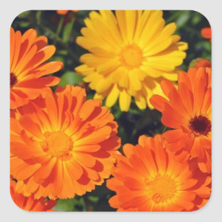 Beautiful orange zinnia flower garden square sticker