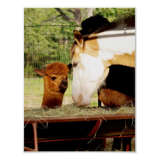 Beautiful Paint Horse Alpaca Poster