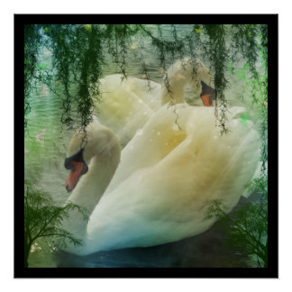 Beautiful pair of white swans swimming on a pond poster