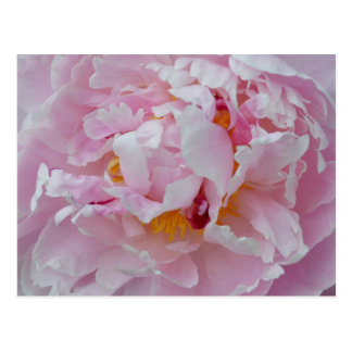 Beautiful Pale Pink Peony Flower - Floral Garden Postcard