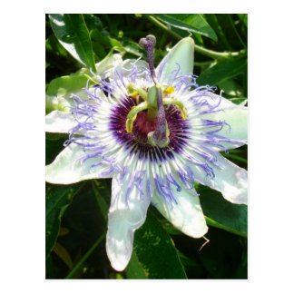 Beautiful Passion Flower With Garden Background Postcard