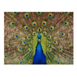 Beautiful peacock and tail feathers print postcard