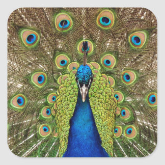 Beautiful peacock and tail feathers print square sticker