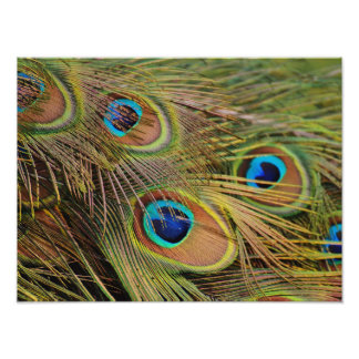 Beautiful Peacock Feathers Photo Print