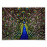 Beautiful Peacock Photo Art