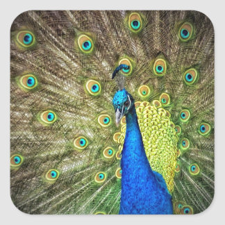 Beautiful Peacock Photo Square Sticker