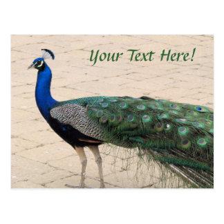 Beautiful Peacock Post Card