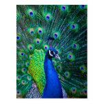 Beautiful Peacock Post Cards