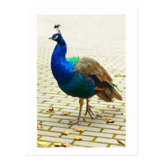 Beautiful peacock postcard