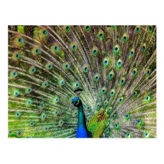 Beautiful Peacock Postcards